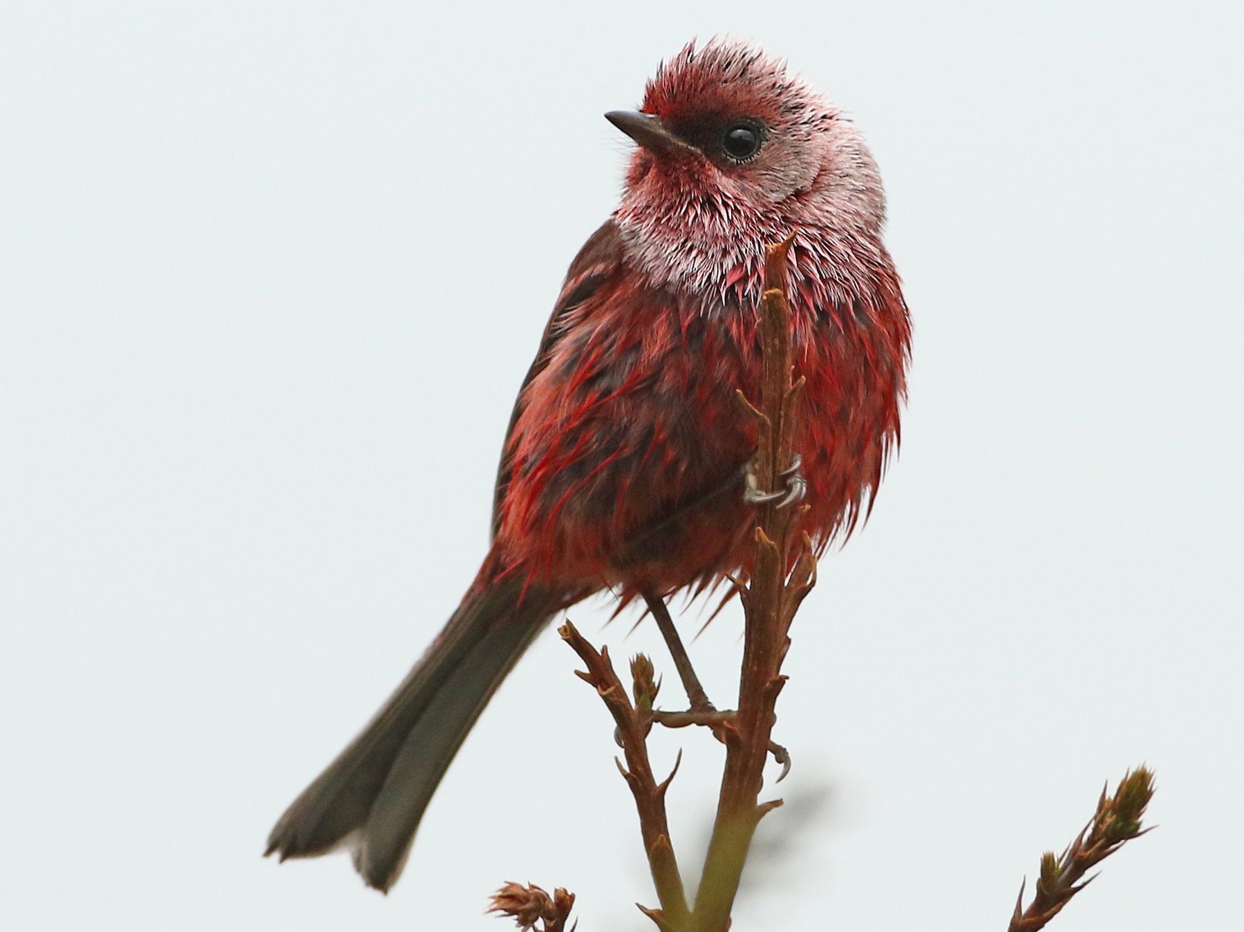 Pink-headed Warbler - Luke Seitz