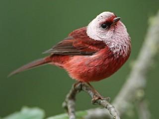 - Pink-headed Warbler