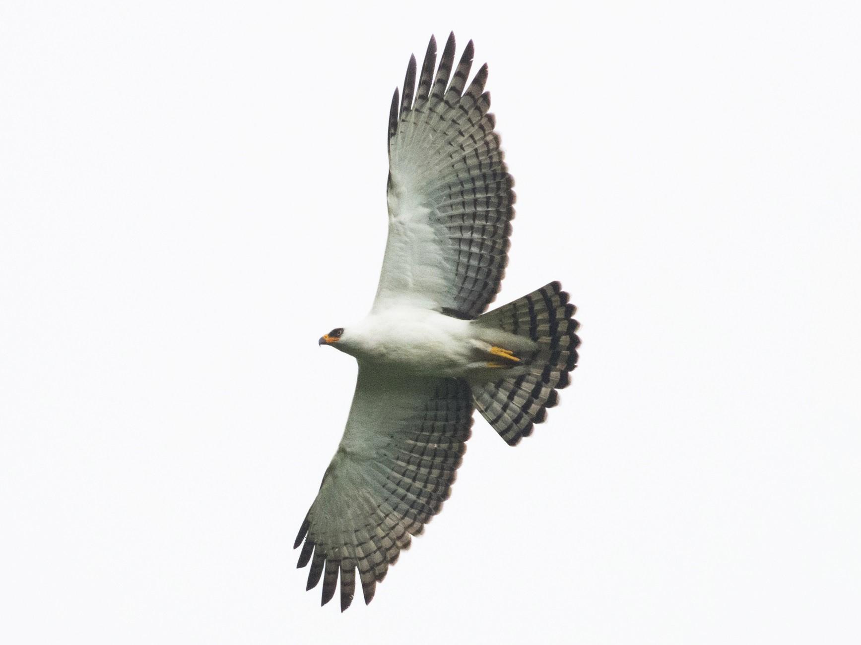 Black-and-white Hawk-Eagle - John Cahill xikanel.com