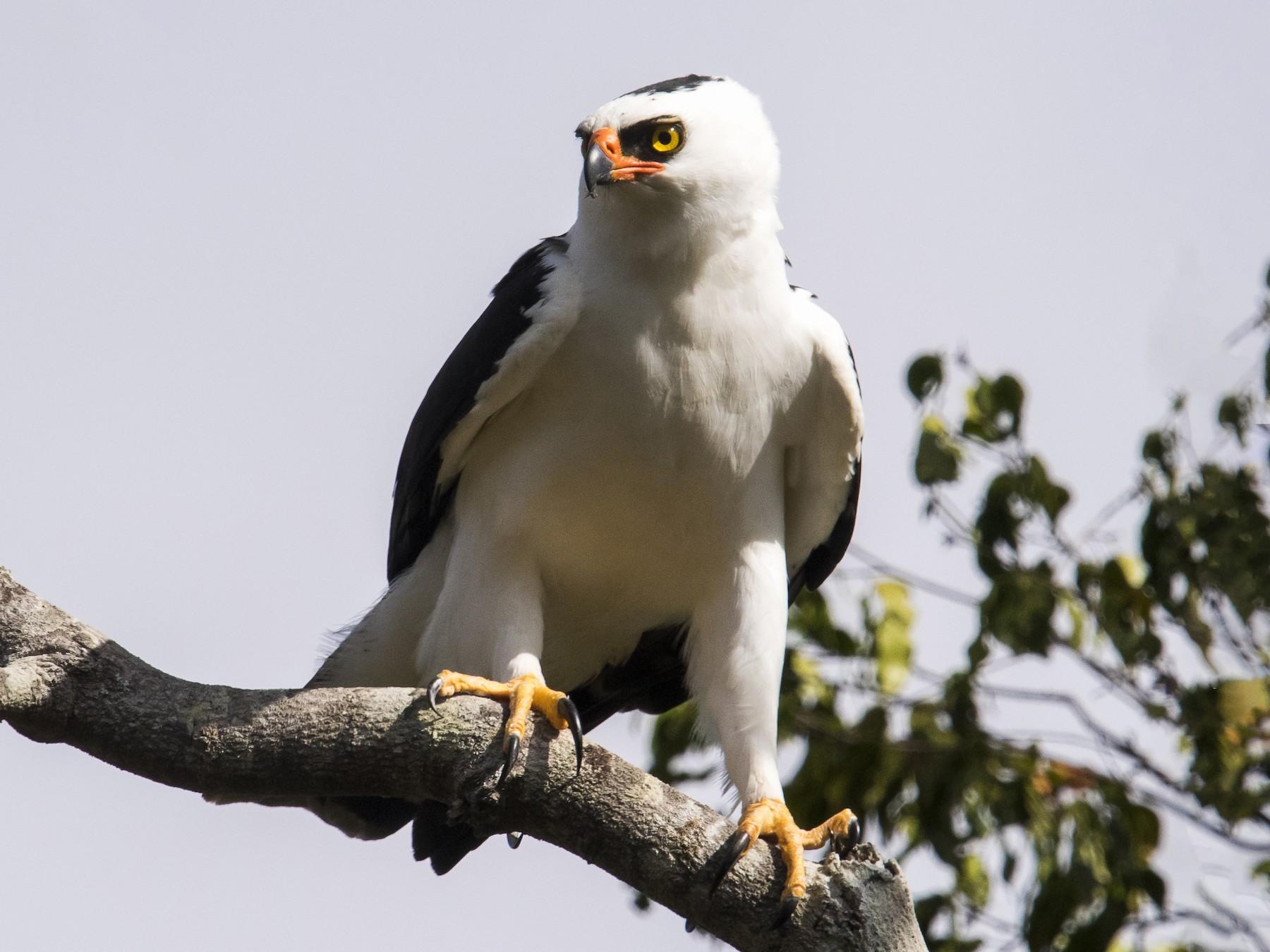 Black-and-white Hawk-Eagle - Claudia Brasileiro