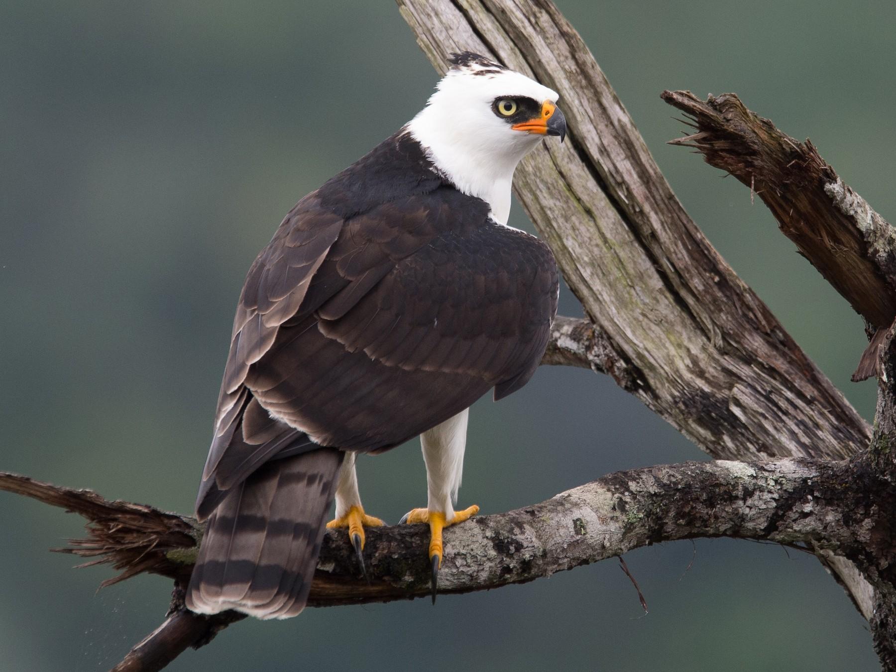 Black-and-white Hawk-Eagle - Marc FASOL