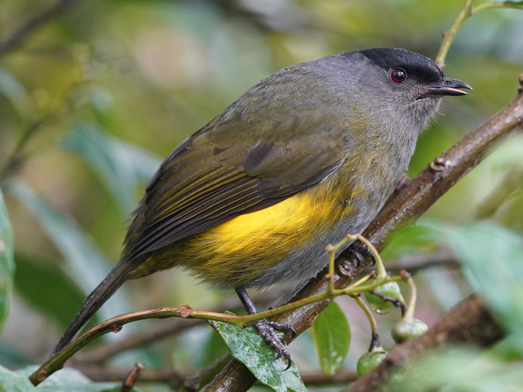 Black-and-yellow Silky-flycatcher - Sunil Thirkannad