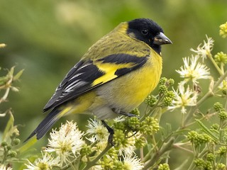 - Hooded Siskin