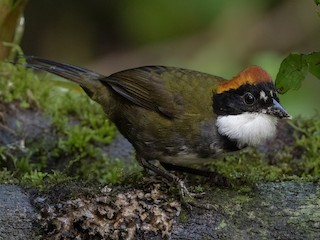 - Chestnut-capped Brushfinch