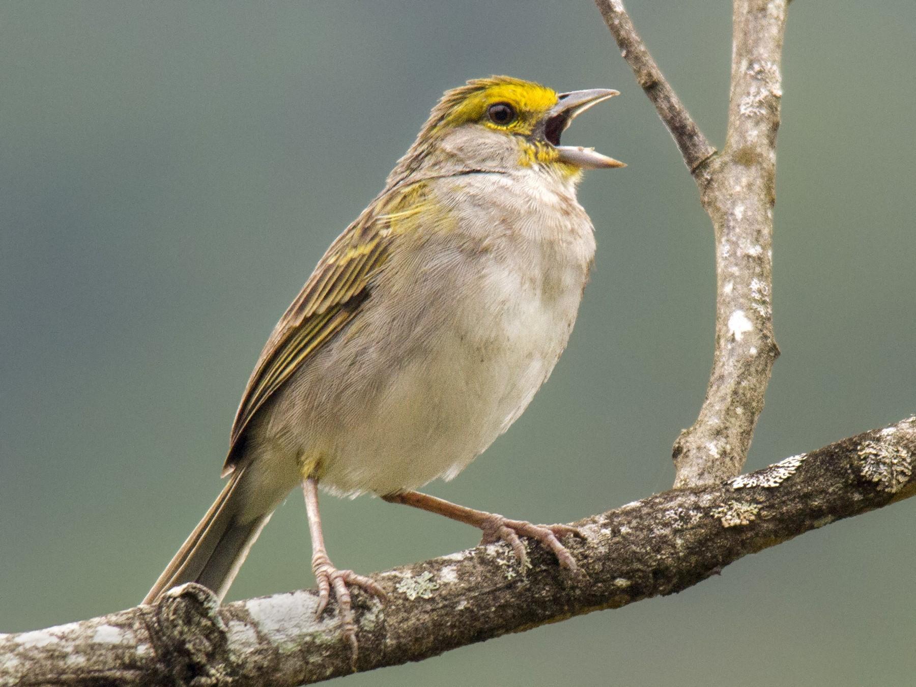 Yellow-browed Sparrow - Andres Vasquez