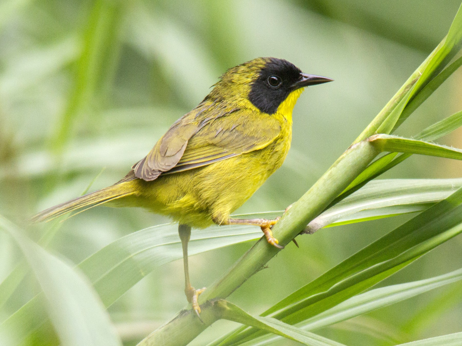Olive-crowned Yellowthroat - Andres Vasquez
