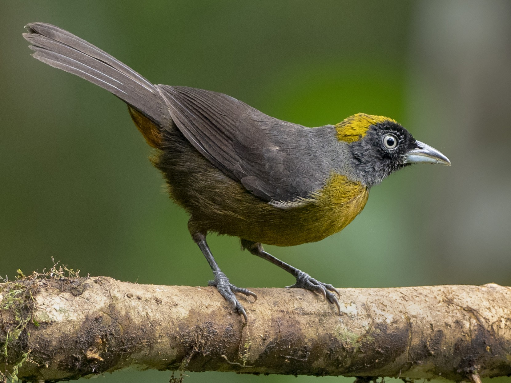 Dusky-faced Tanager - Andres Vasquez
