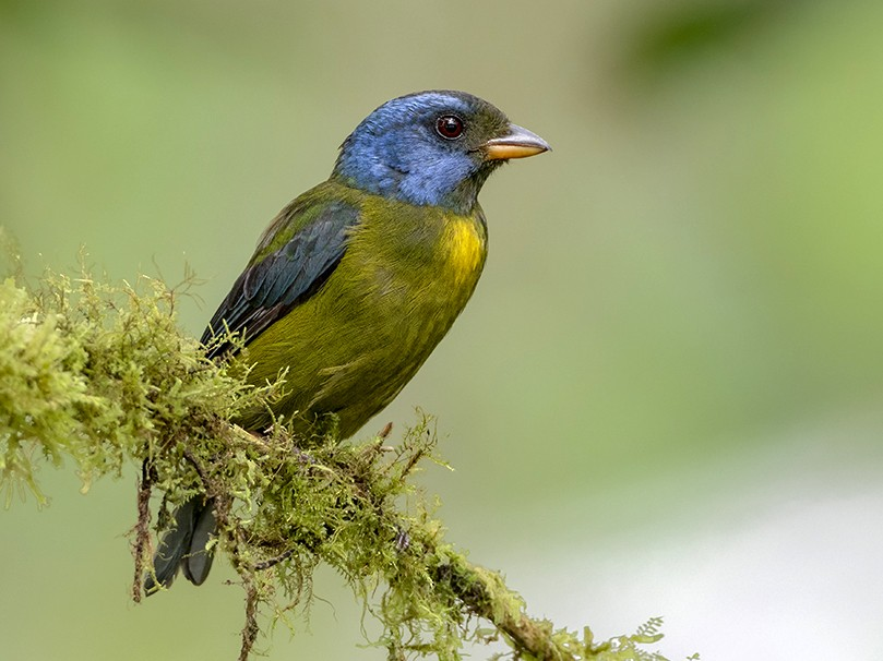 Moss-backed Tanager - Andres Vasquez Tropical Birding Tours