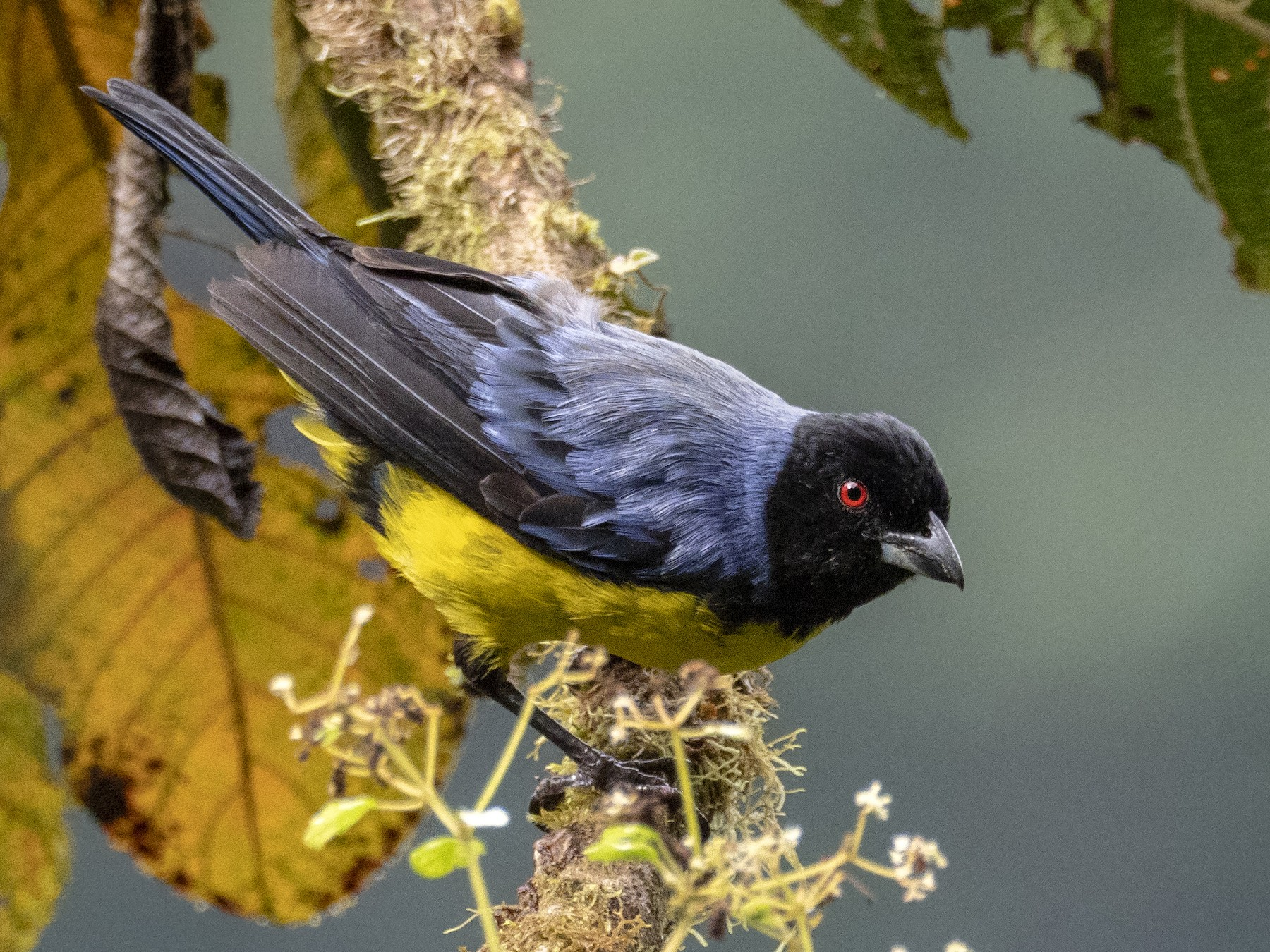 Hooded Mountain-Tanager - Andres Vasquez