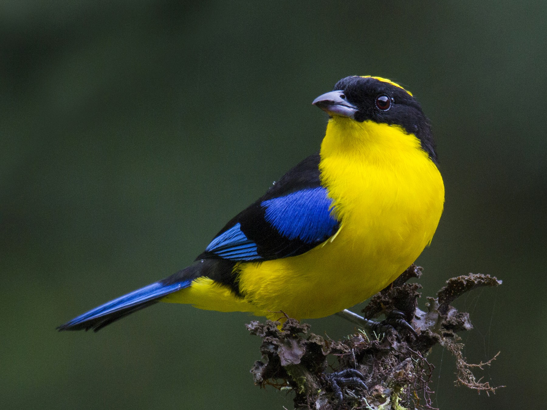 Blue-winged Mountain-Tanager - Andres Vasquez