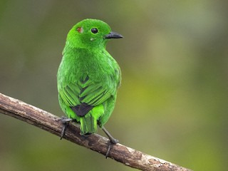 - Glistening-green Tanager