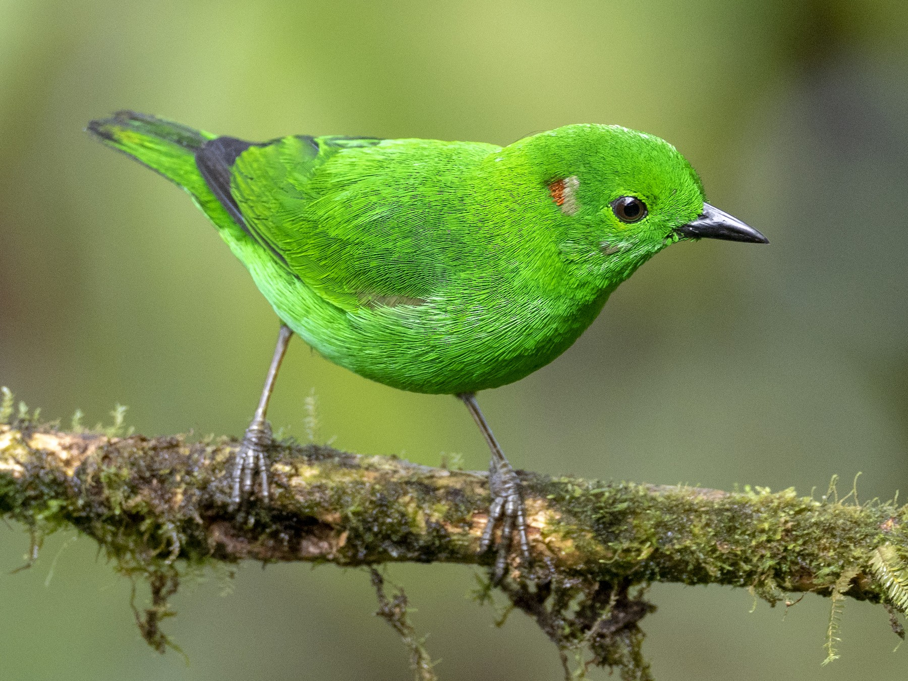 Glistening-green Tanager - Andres Vasquez