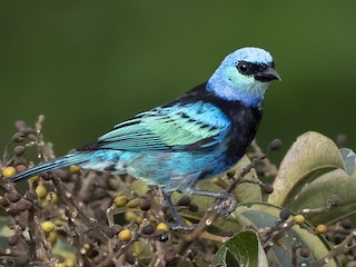 - Masked Tanager