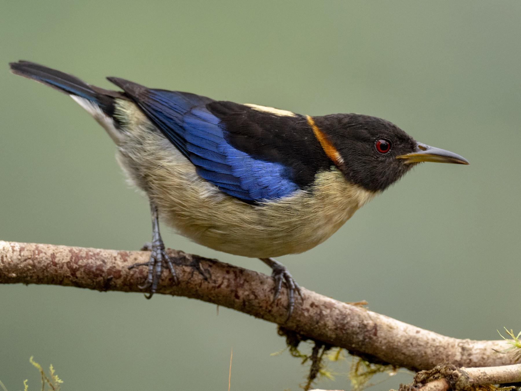 Golden-collared Honeycreeper - Andres Vasquez Noboa - Tropical Birding Tours