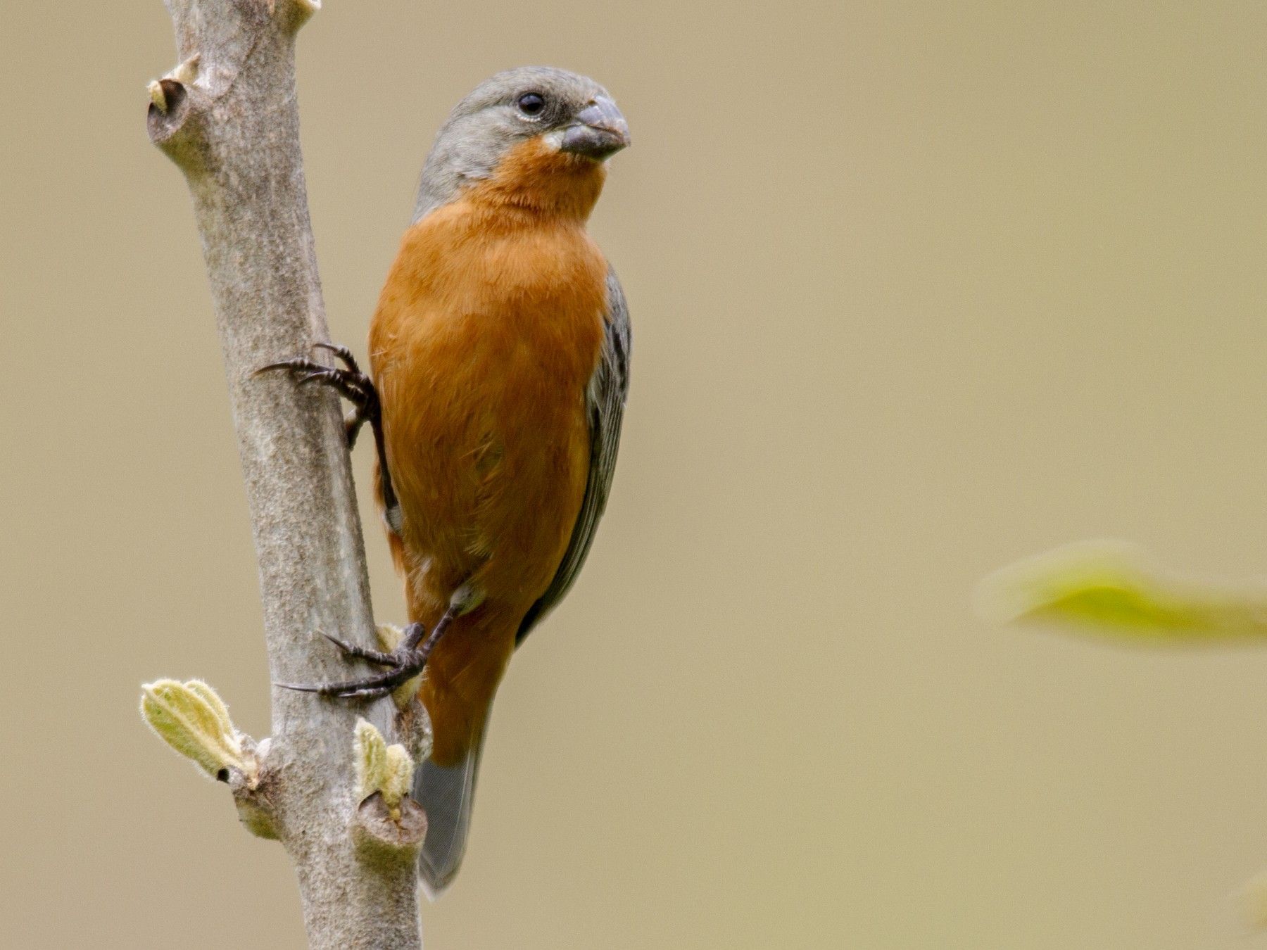 Ruddy-breasted Seedeater - Andres Vasquez