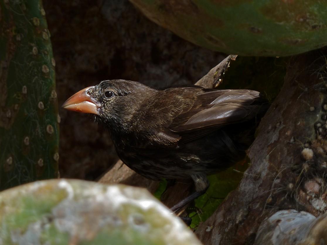 Genovesa Cactus-Finch - Andres Vasquez Tropical Birding Tours