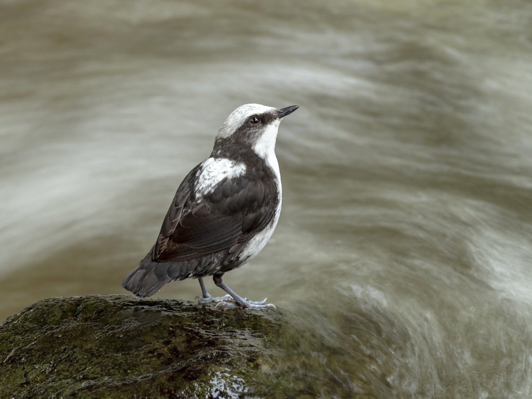 White-capped Dipper - Andres Vasquez Tropical Birding Tours