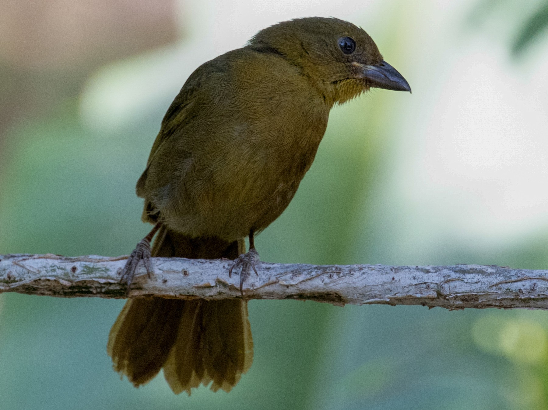 Red-crowned Ant-Tanager - kenneth reyes