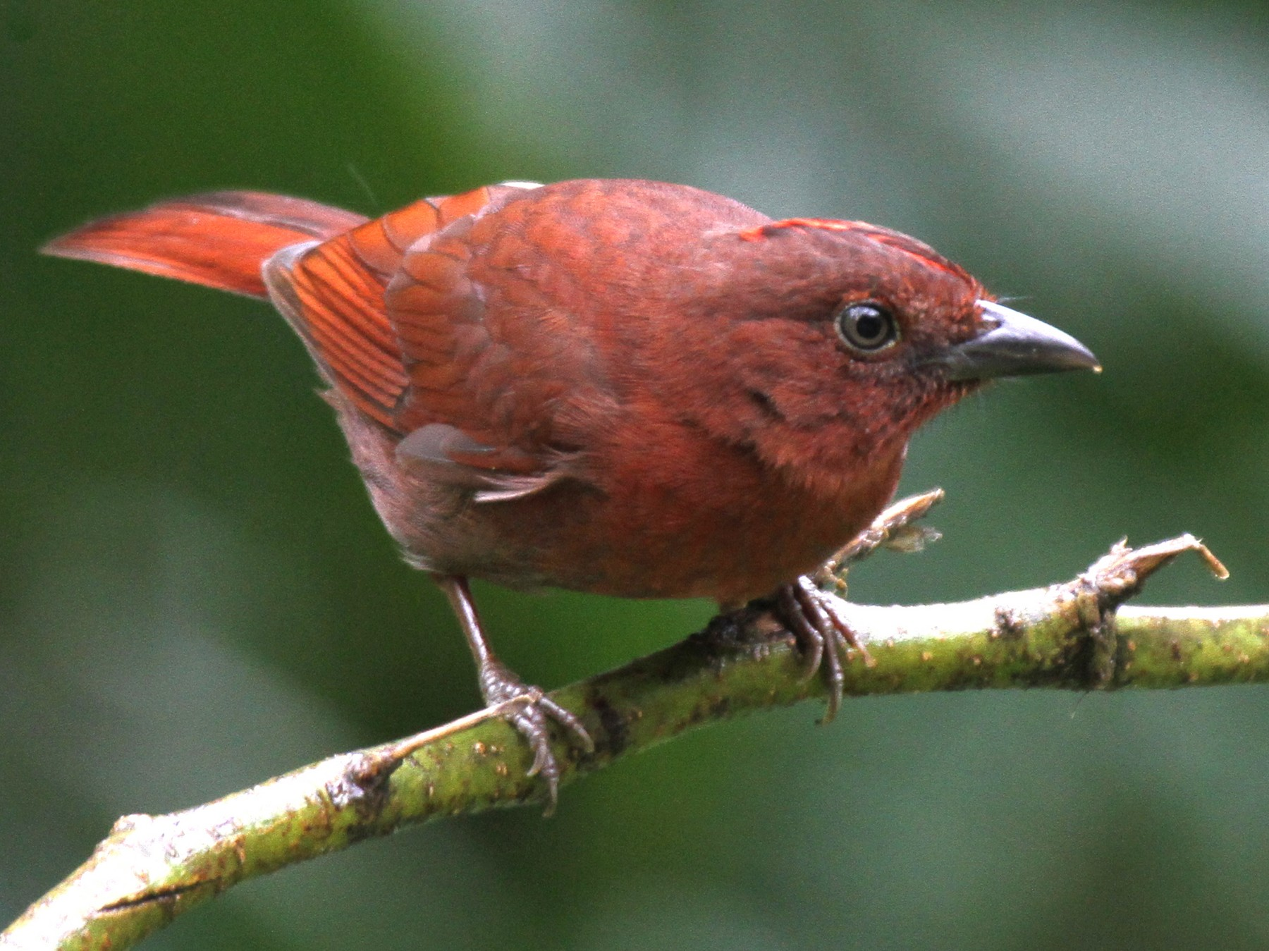 Red-crowned Ant-Tanager - Laura Keene