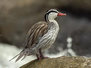 - Torrent Duck