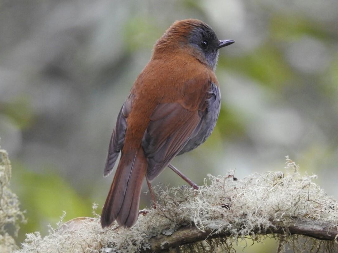 Black-billed Nightingale-Thrush - Daniel Garrigues
