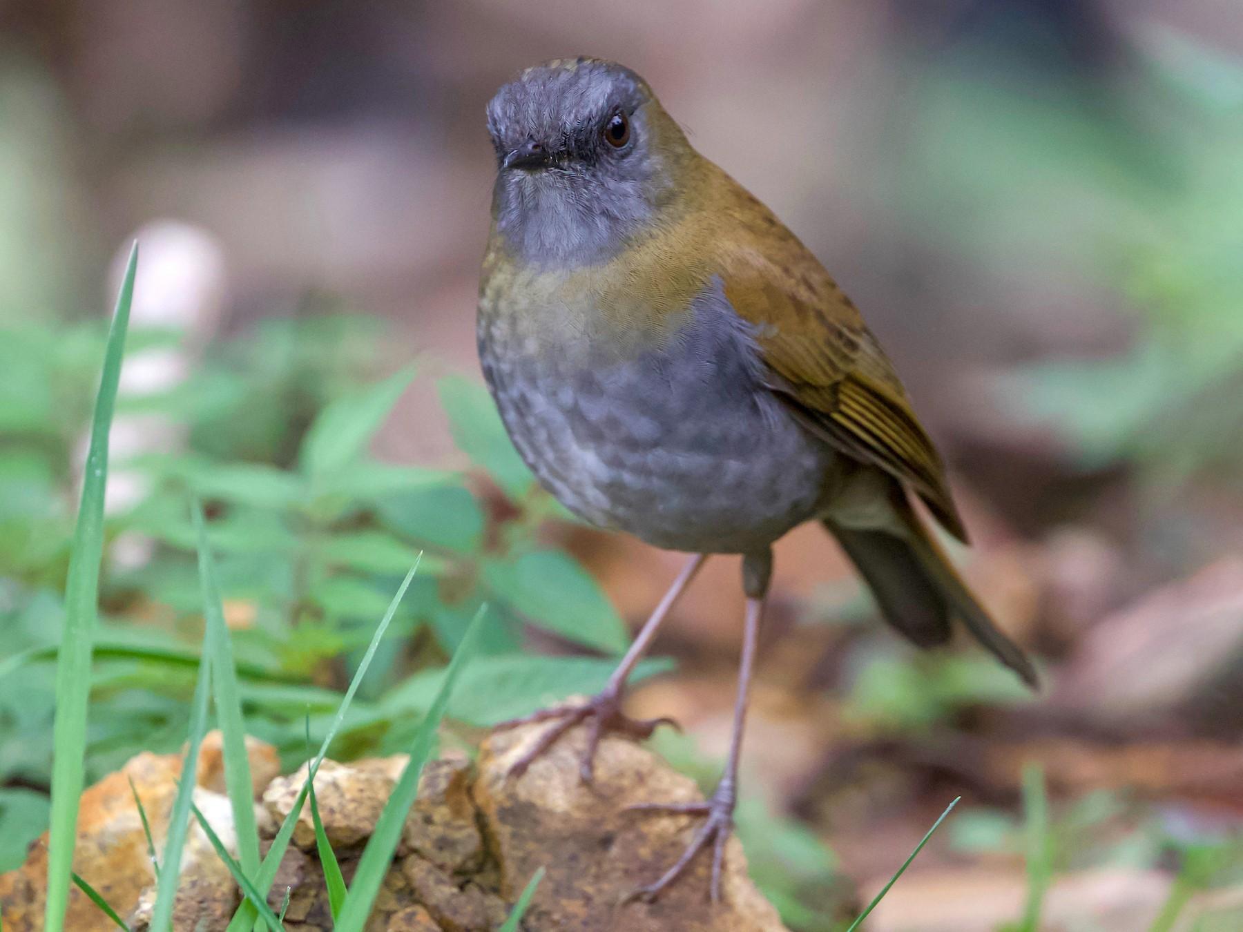 Black-billed Nightingale-Thrush - Cory Gregory