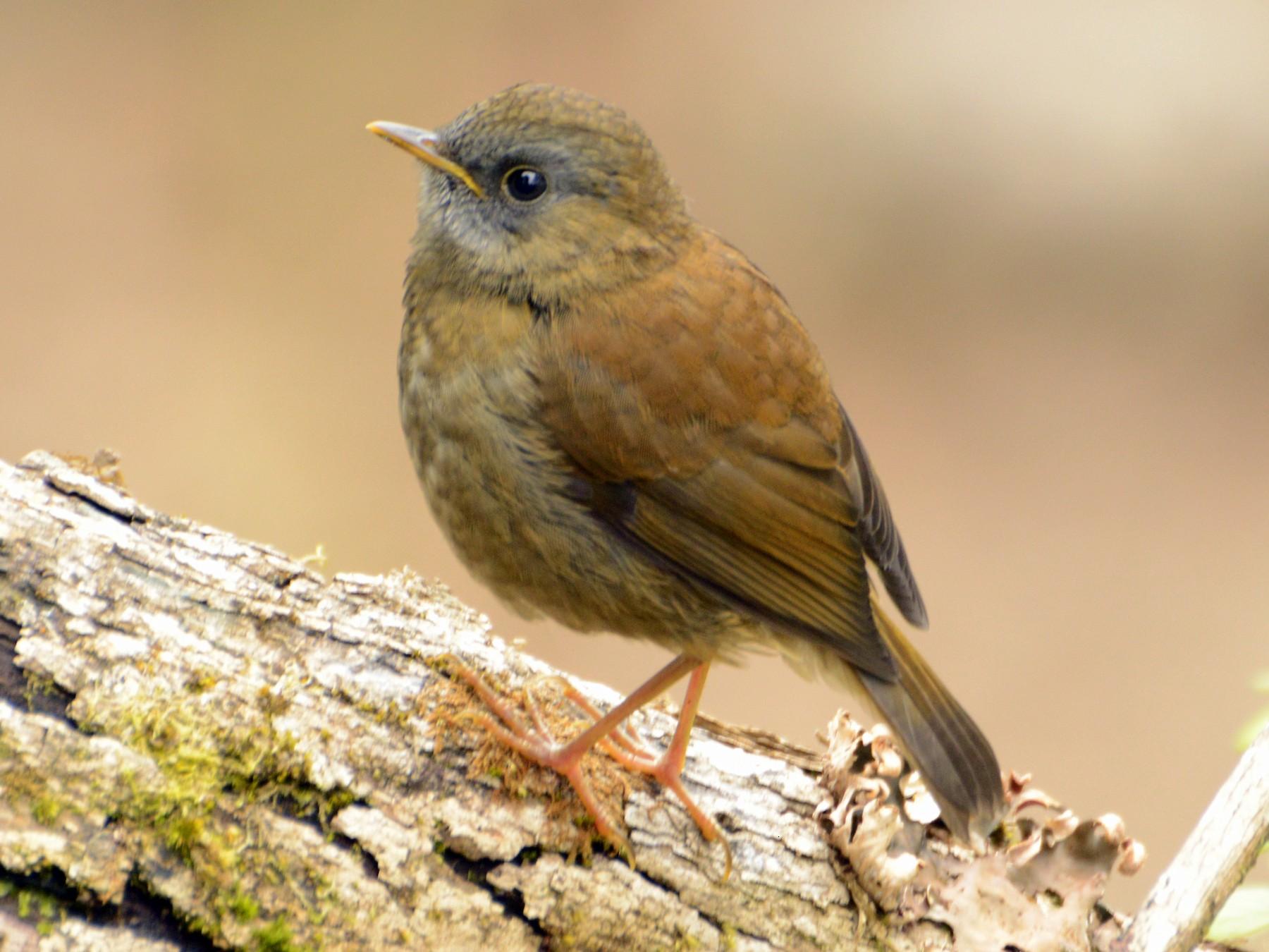 Black-billed Nightingale-Thrush - Daniel Martínez