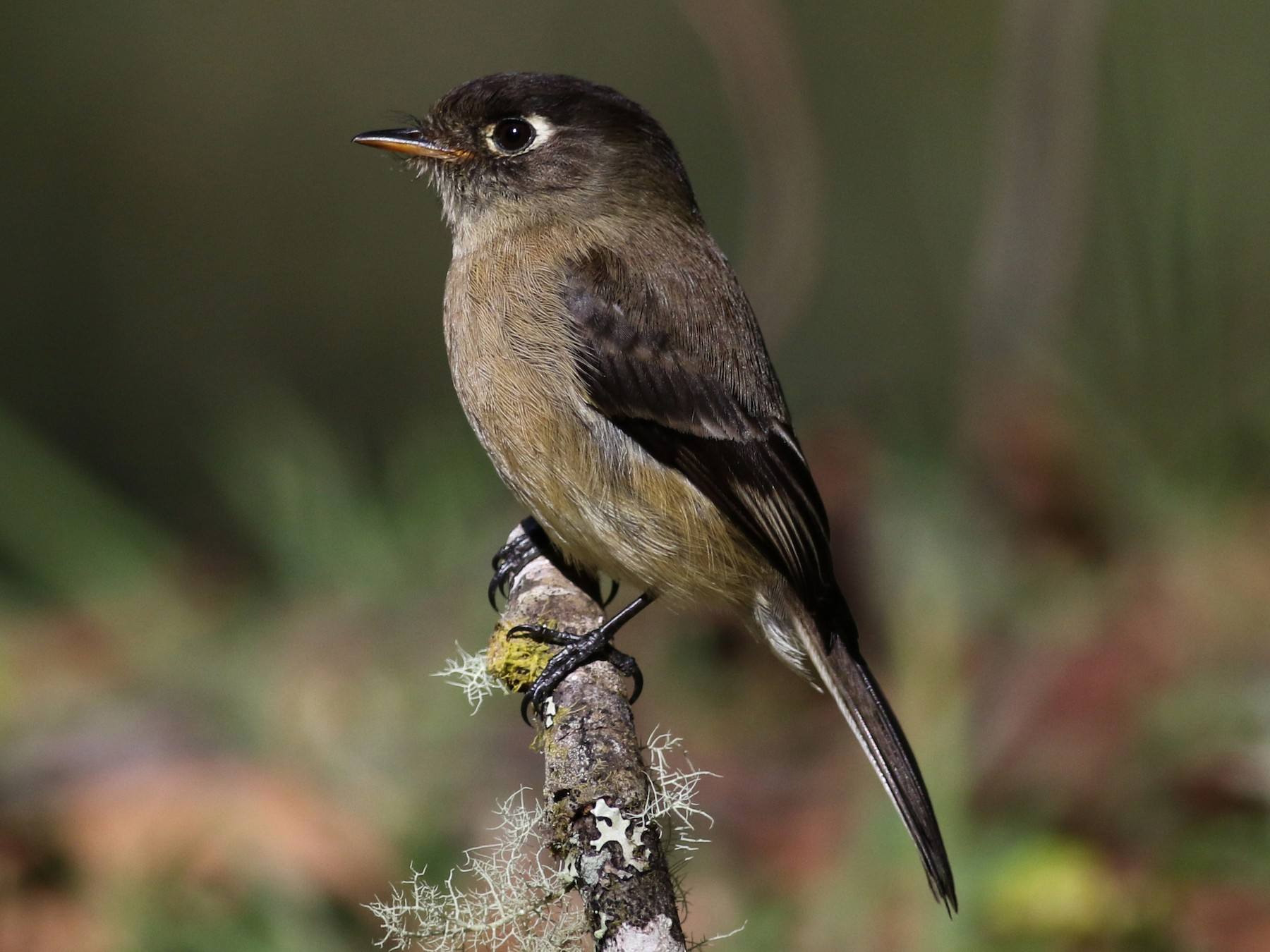 Black-capped Flycatcher - Jay McGowan