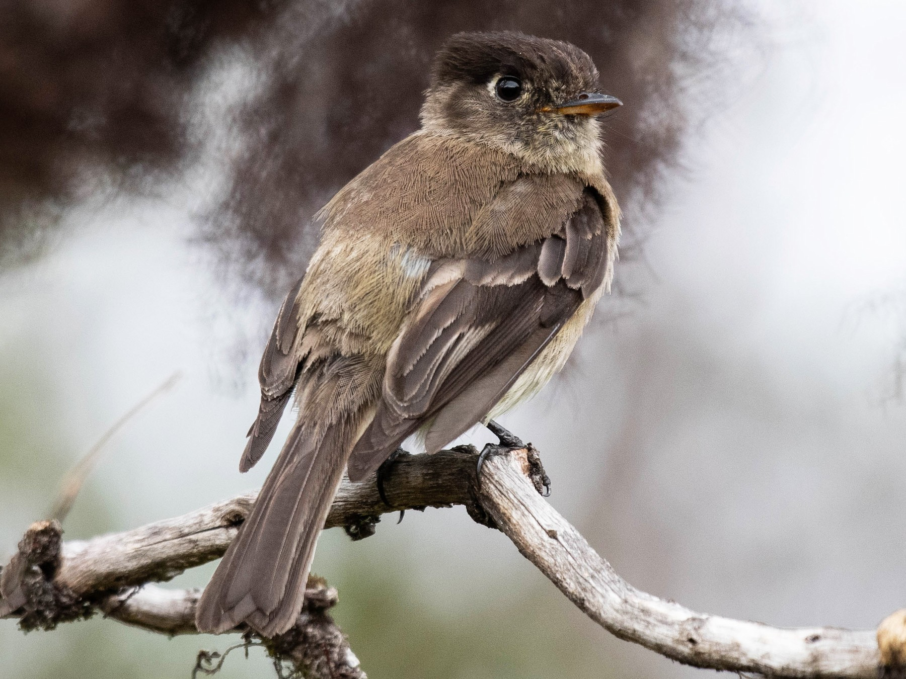 Black-capped Flycatcher - Ryan Andrews