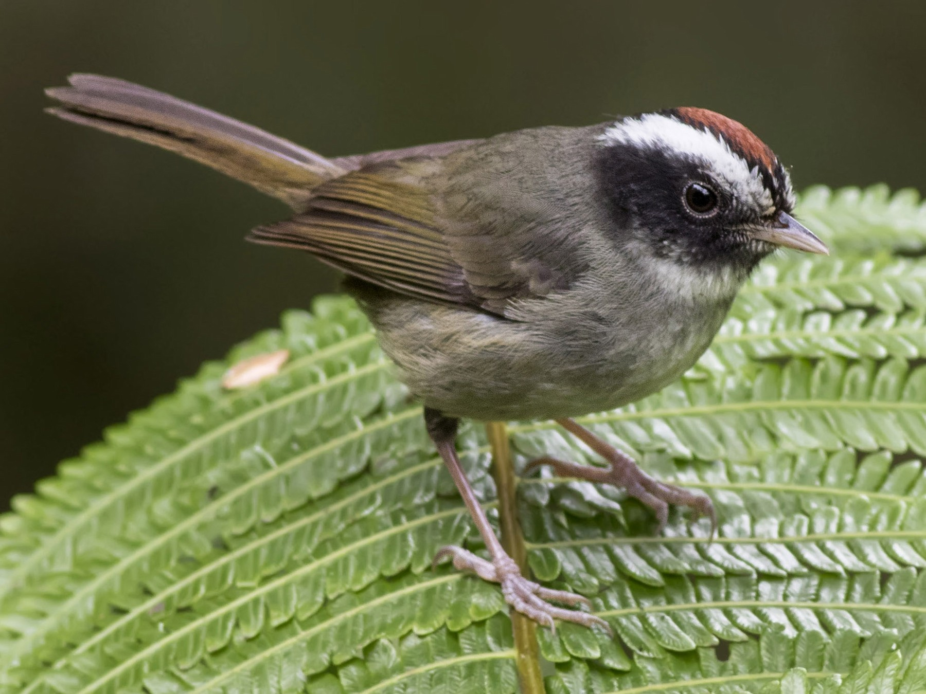Black-cheeked Warbler - Guillermo  Saborío Vega