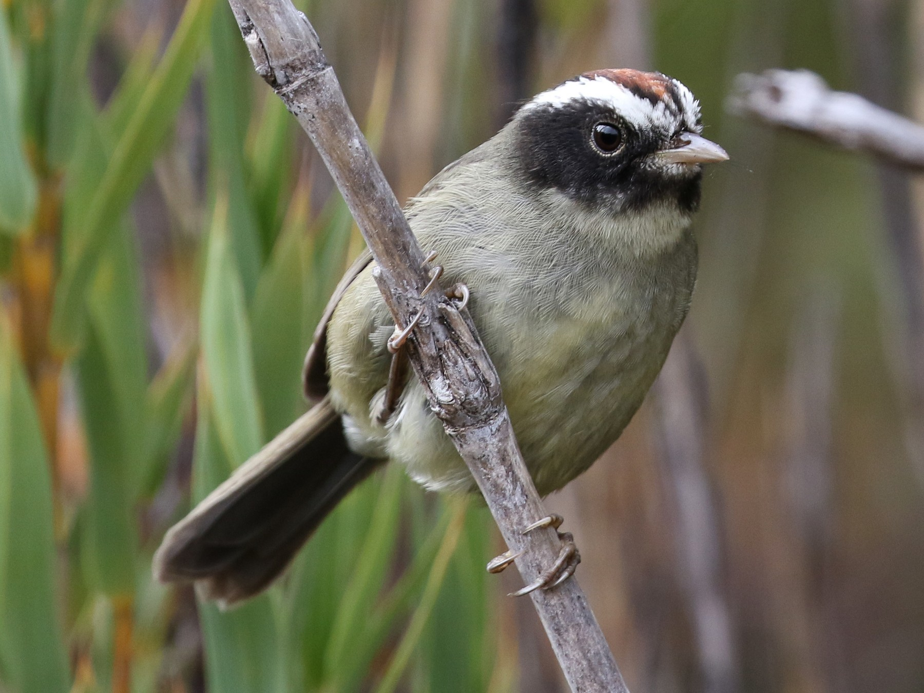 Black-cheeked Warbler - Blair Dudeck