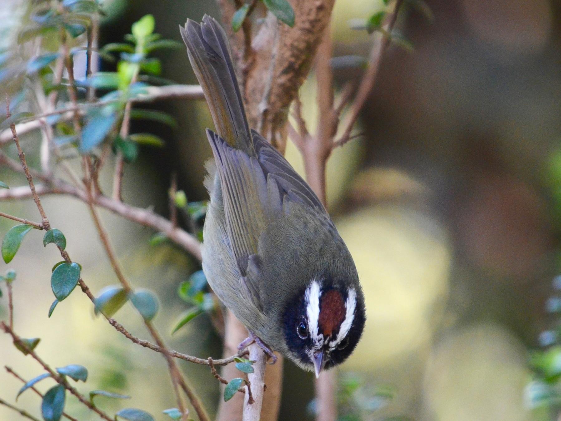 Black-cheeked Warbler - Hans Holbrook