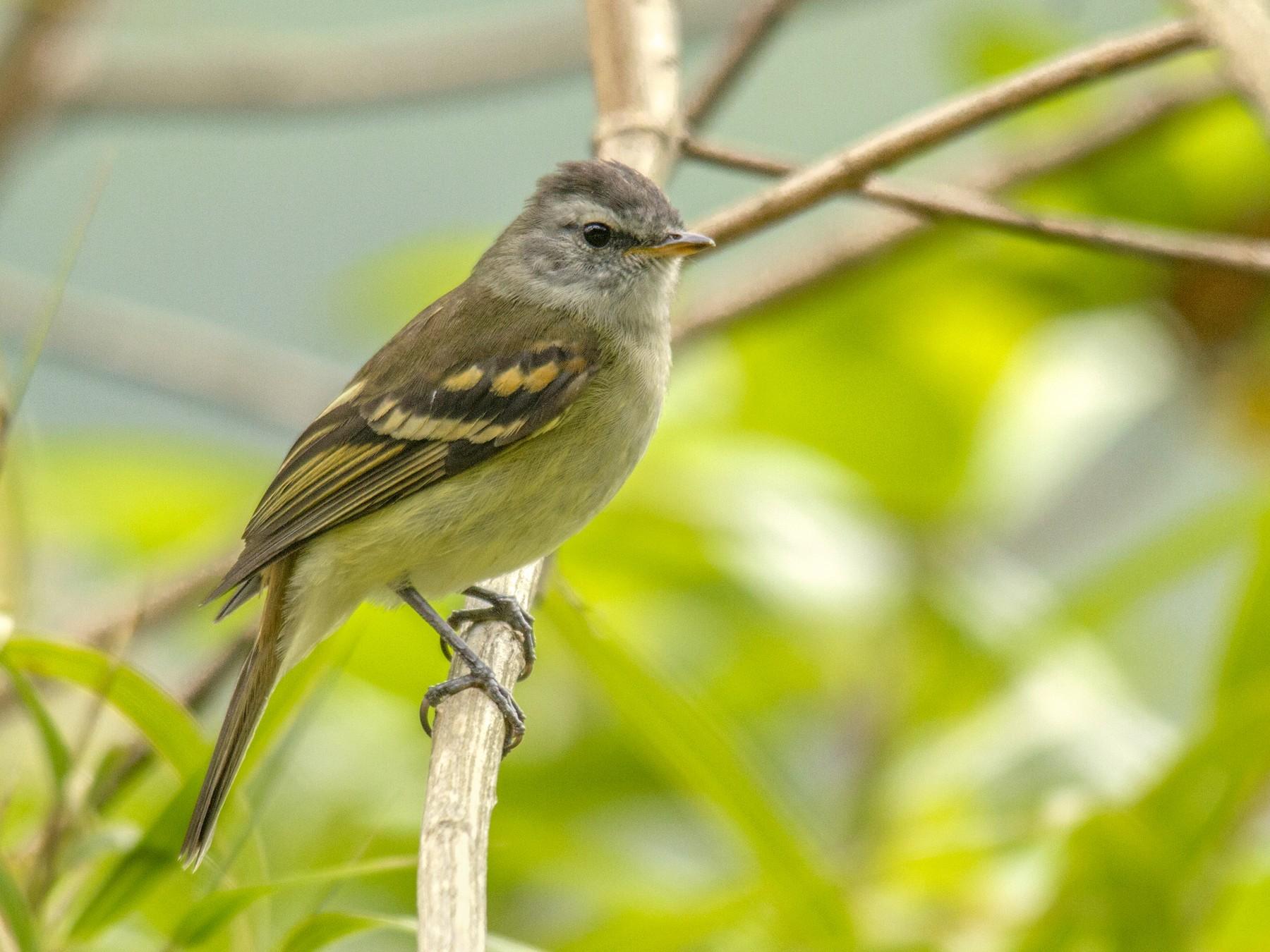 Tawny-rumped Tyrannulet - Andres Vasquez Tropical Birding Tours