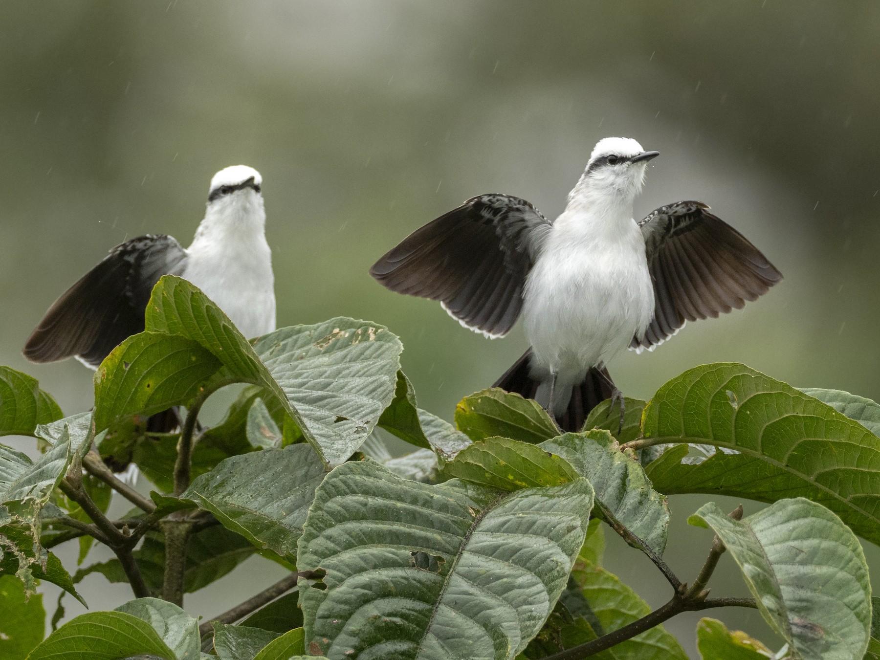 Masked Water-Tyrant - Andres Vasquez Noboa - Tropical Birding Tours