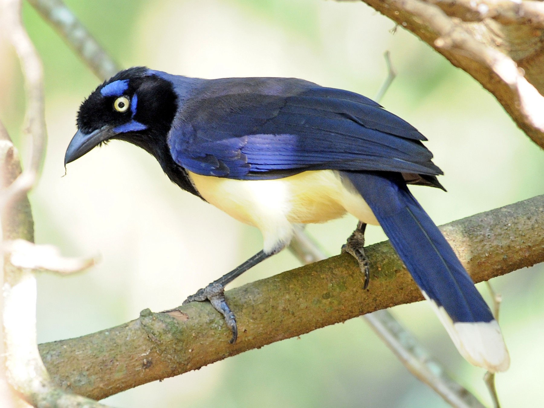 Black-chested Jay - Josanel Sugasti