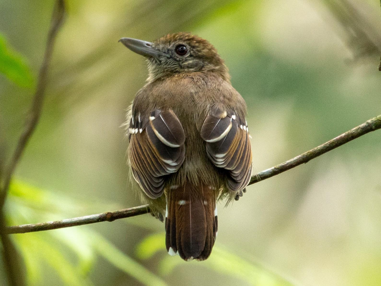 Black-crowned Antshrike - Louis Bevier