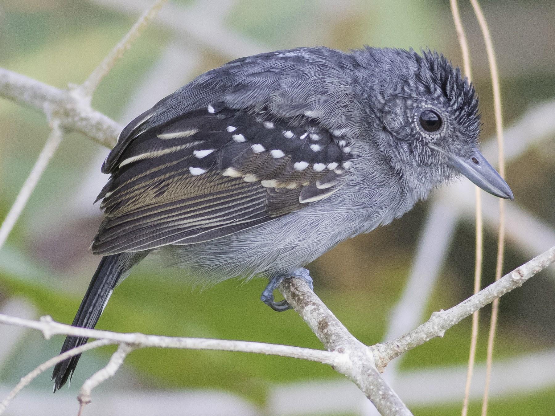 Black-crowned Antshrike - Caleb Putnam