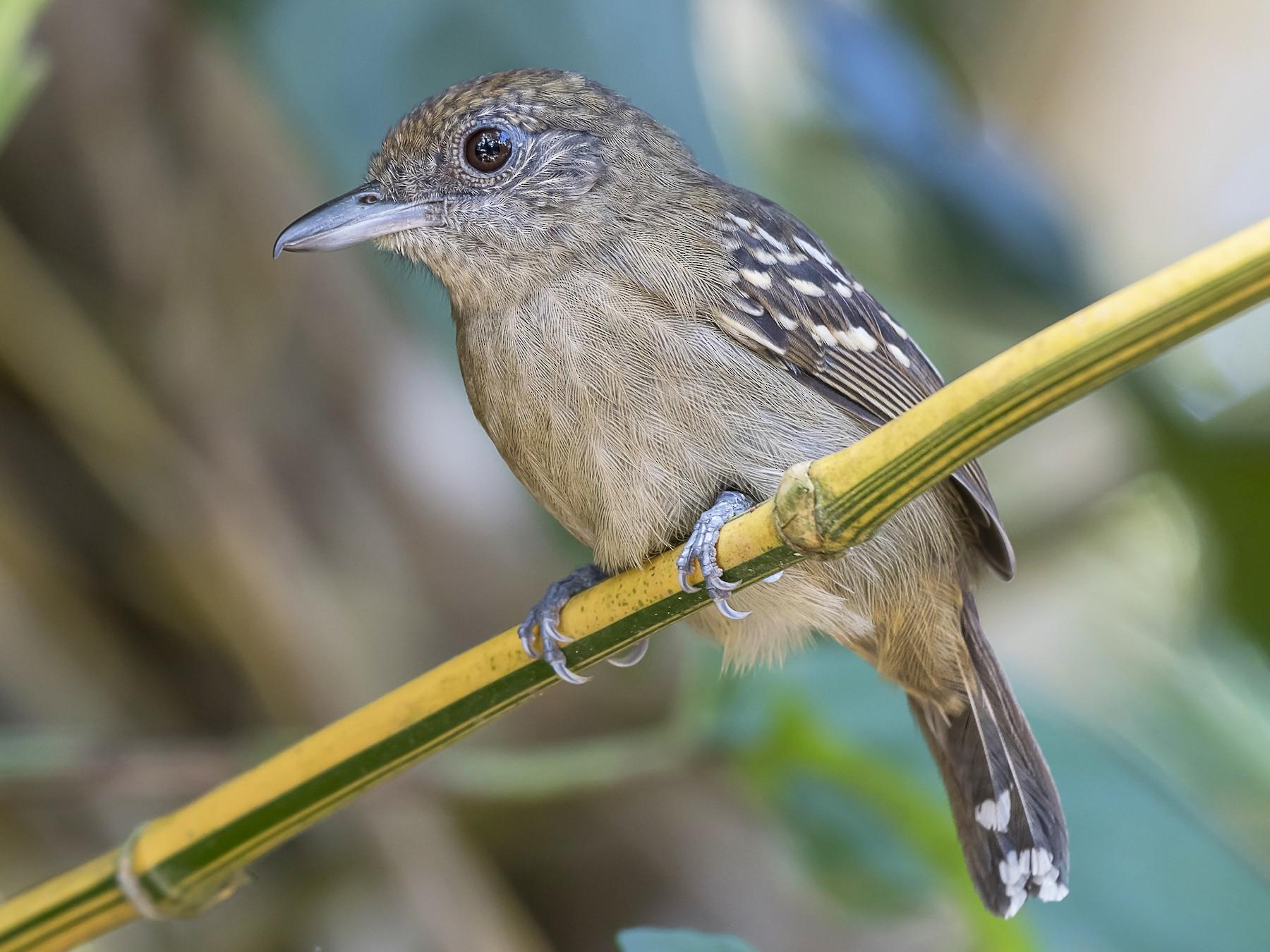 Black-crowned Antshrike - fernando Burgalin Sequeria