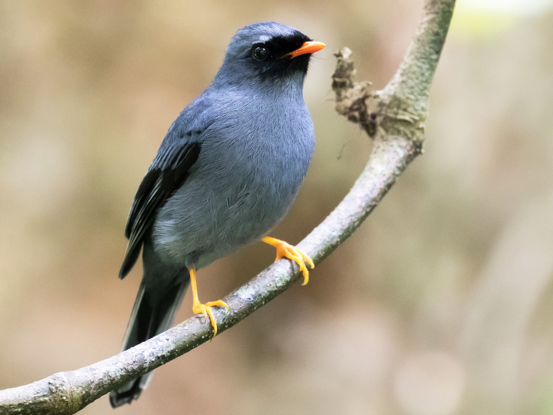 Black-faced Solitaire - Ian Burgess
