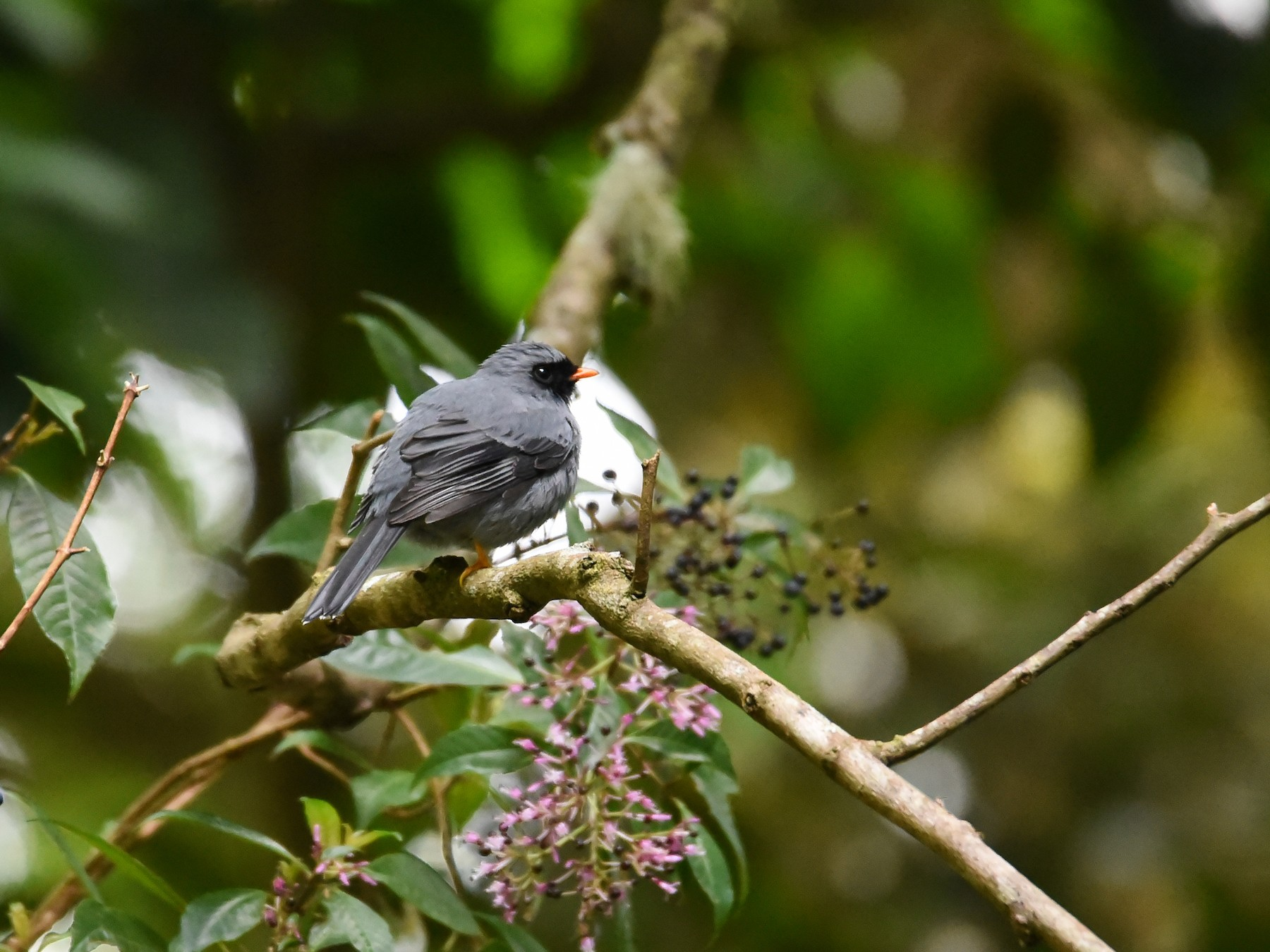 Black-faced Solitaire - Maryse Neukomm