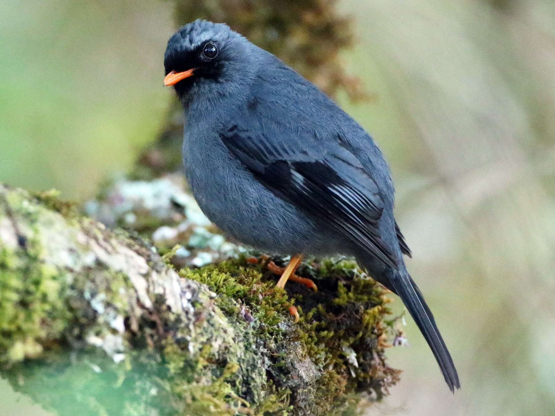 Black-faced Solitaire - Luke Seitz
