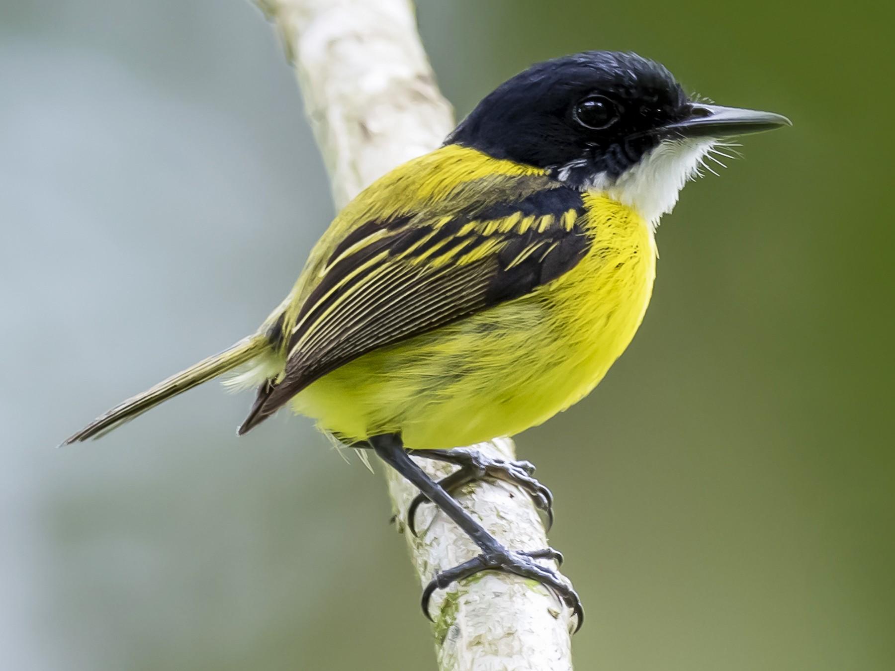 Black-headed Tody-Flycatcher - fernando Burgalin Sequeria