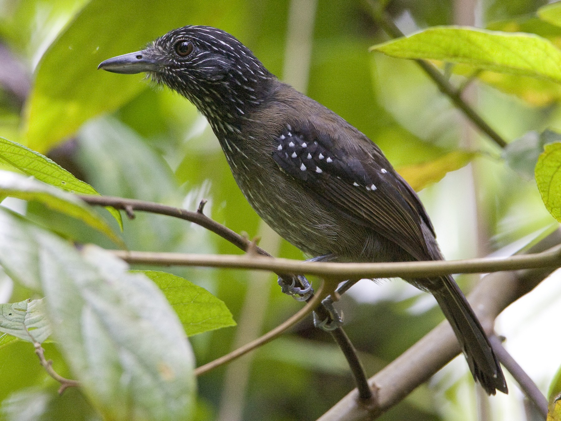 Black-hooded Antshrike - Brian Sullivan