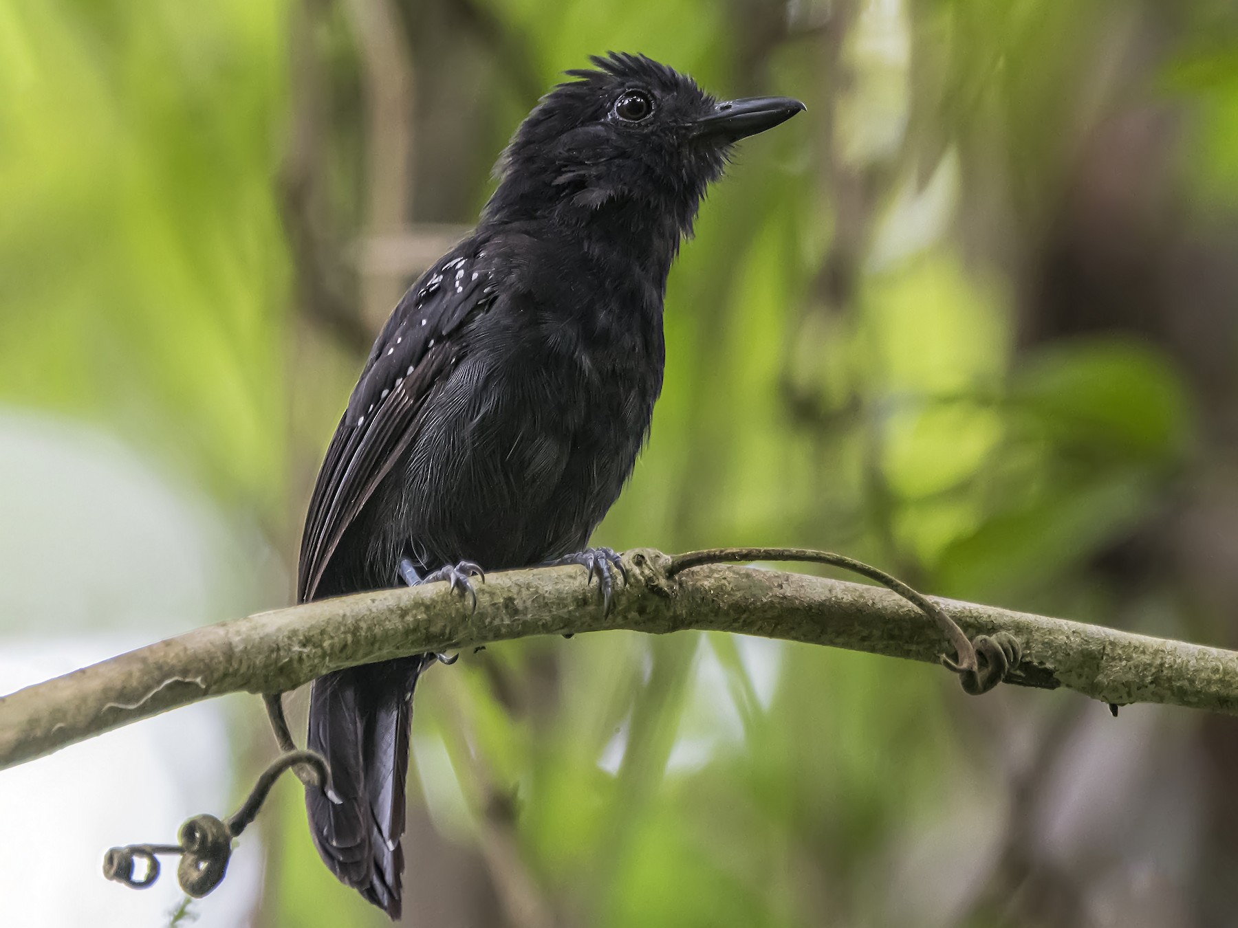 Black-hooded Antshrike - Leandro Arias