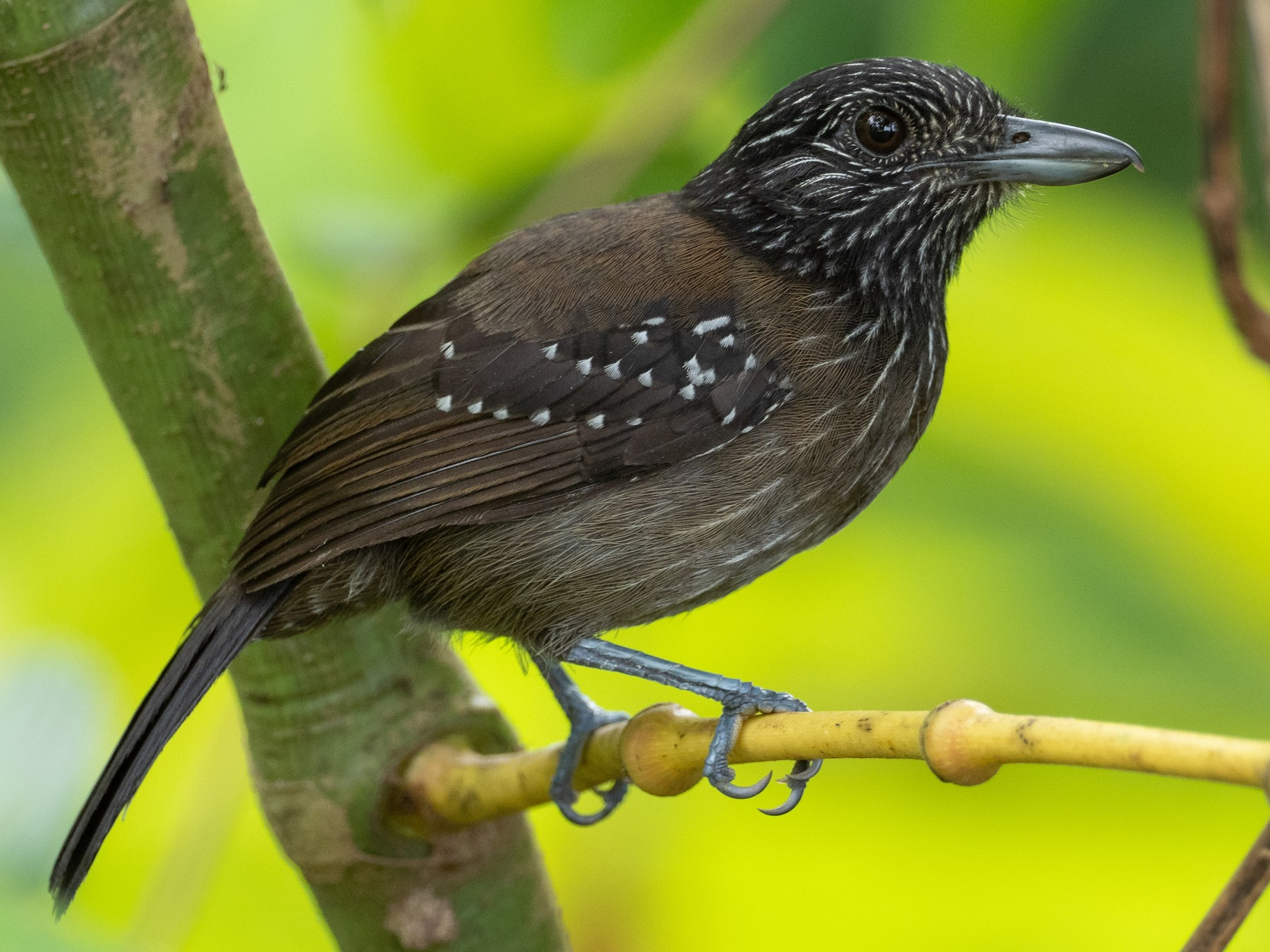Black-hooded Antshrike - Jan Allen