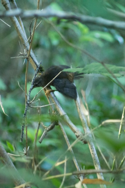 Ochre-flanked Tapaculo