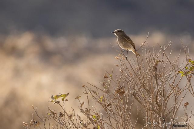 Lesser Shrike-Tyrant