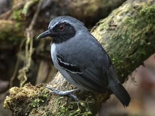 - Black-faced Antbird