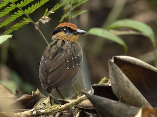 - Rufous-crowned Antpitta