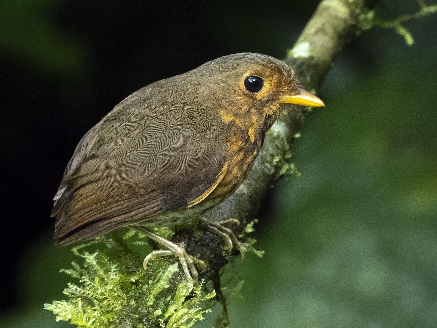 Ochre-breasted Antpitta - Andres Vasquez Noboa - Tropical Birding Tours